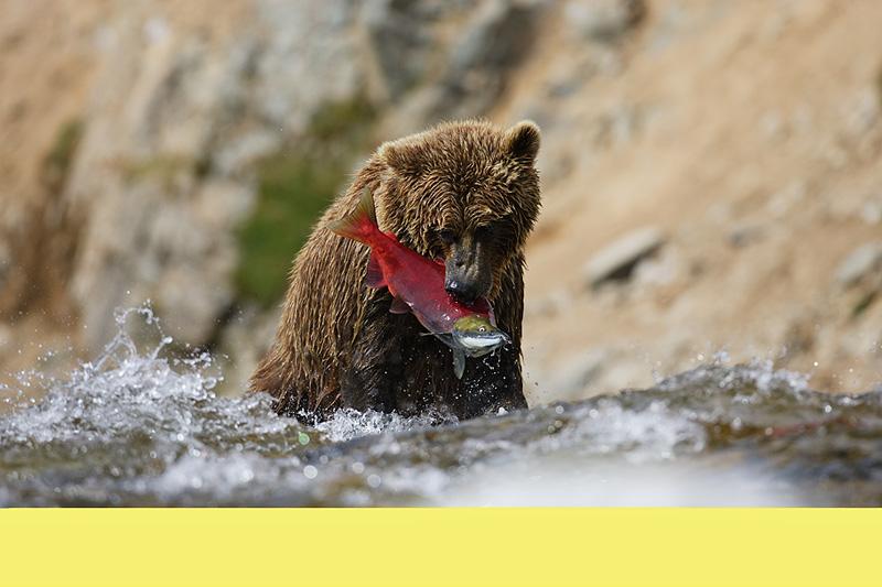 grizzly Katmai