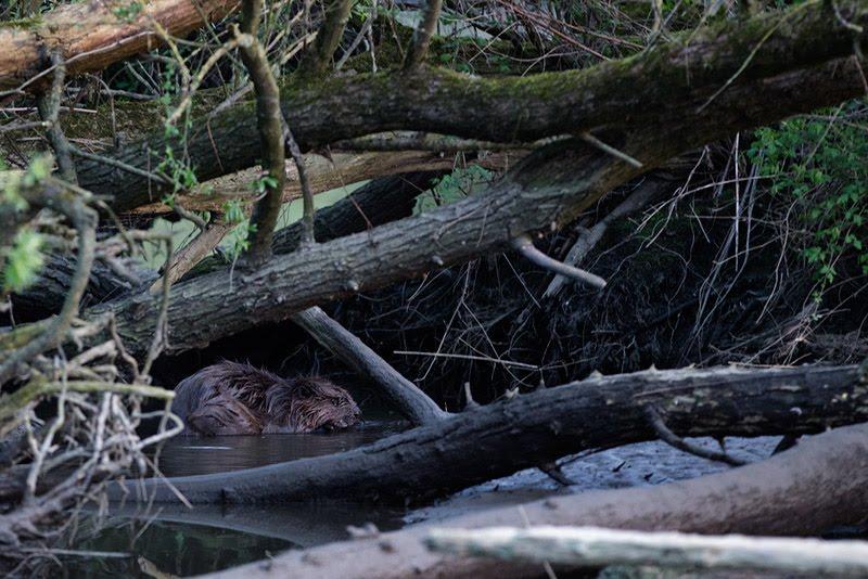biesbosch bever