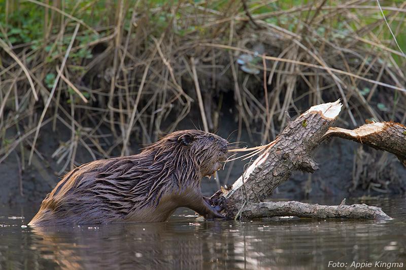 knagende bever