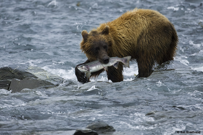 grizzly-1