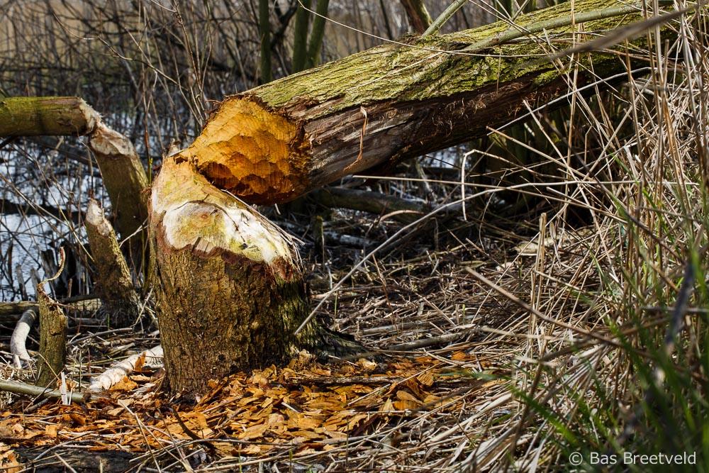 bever omgeknaagde boom