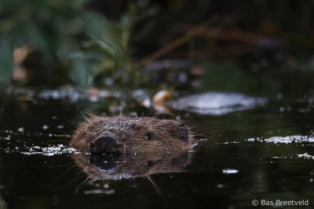 bever in de biesbosch fotograferen