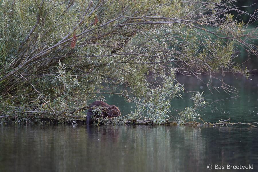 bever biesbosch