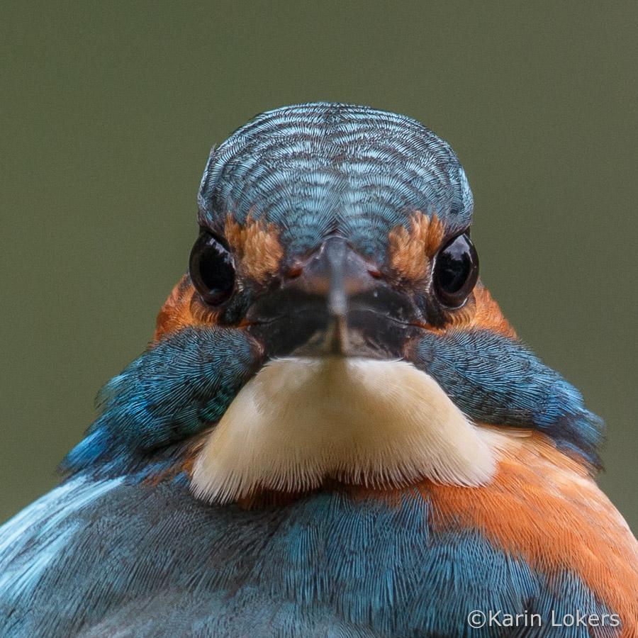 ijsvogel fotoworkshop Biesbosch