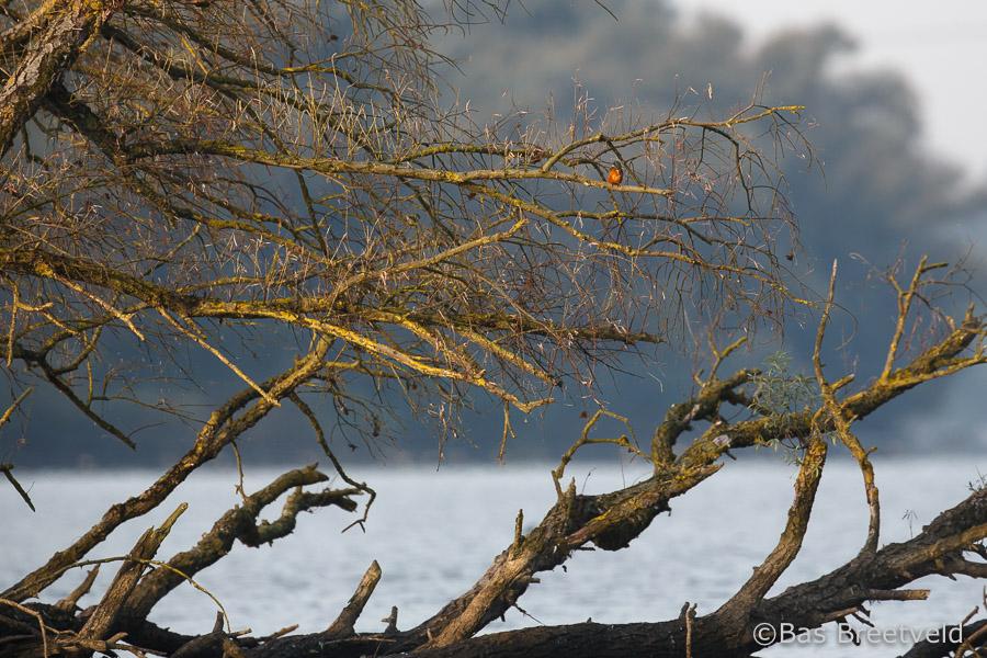 ijsvogel Biesbosch