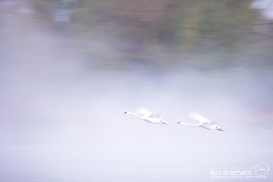 Biesbosch opstijgende zwaan in mist 5