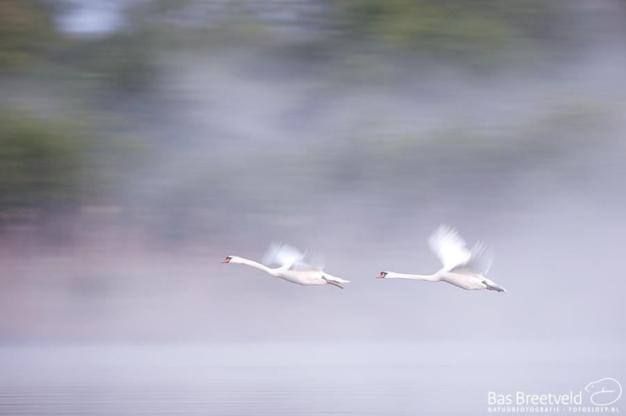 Biesbosch opstijgende zwaan in mist 7