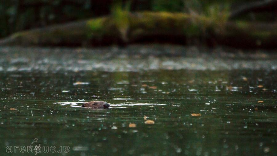 Biesbosch zwemmende bever