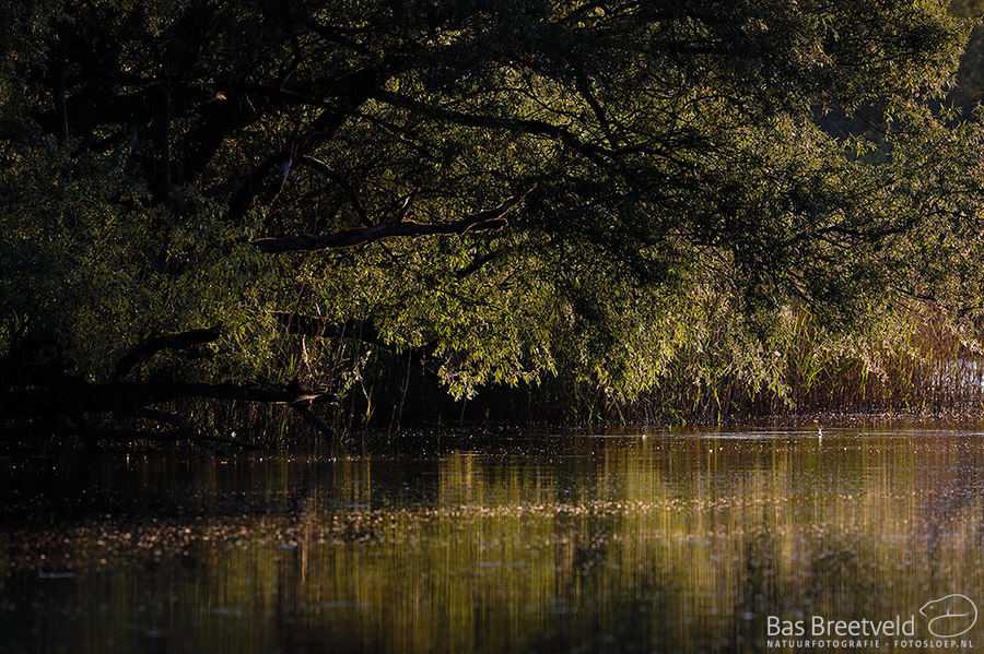 Biesbosch avondlicht op de wilgen