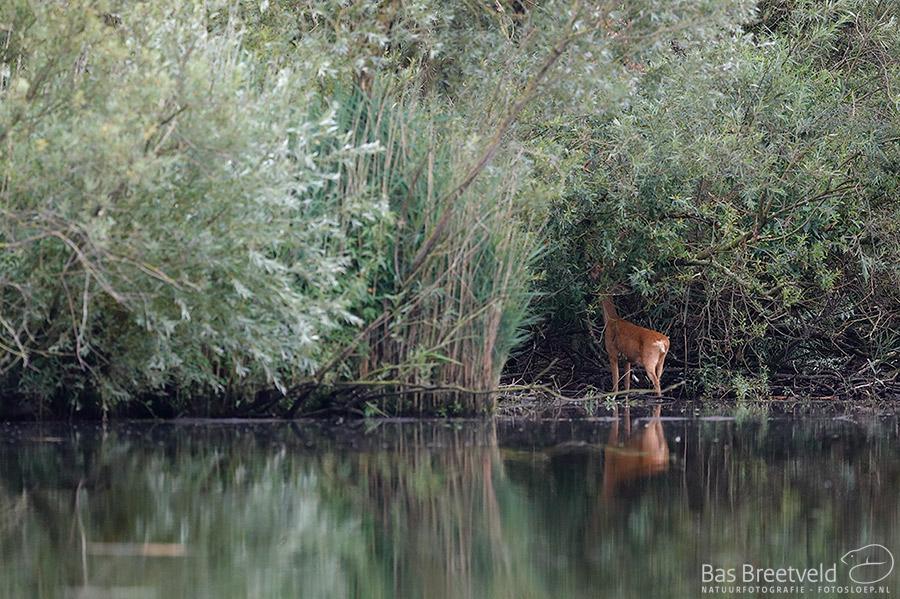 Biesbosch ree