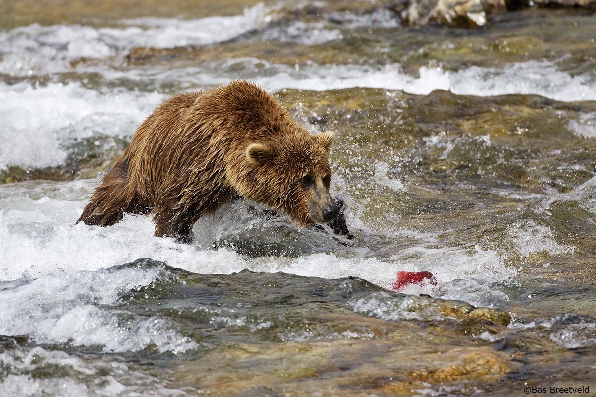 Bruine Beer (Grizzly) In Alaska