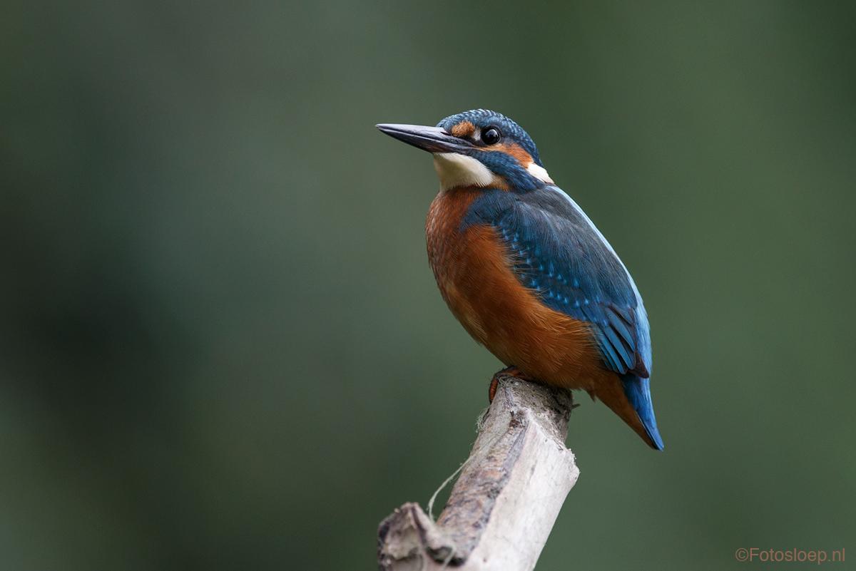 IJsvogel In De Biesbosch