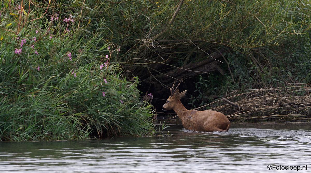 Ree In De Biesbosch