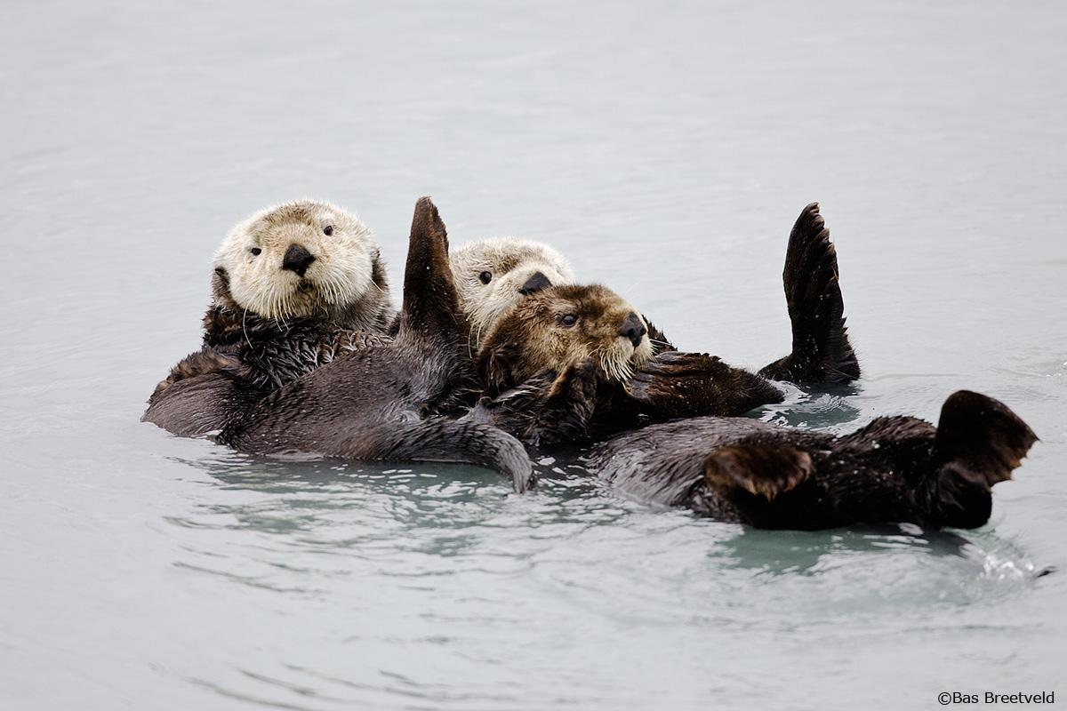 Zeeotters Alaska