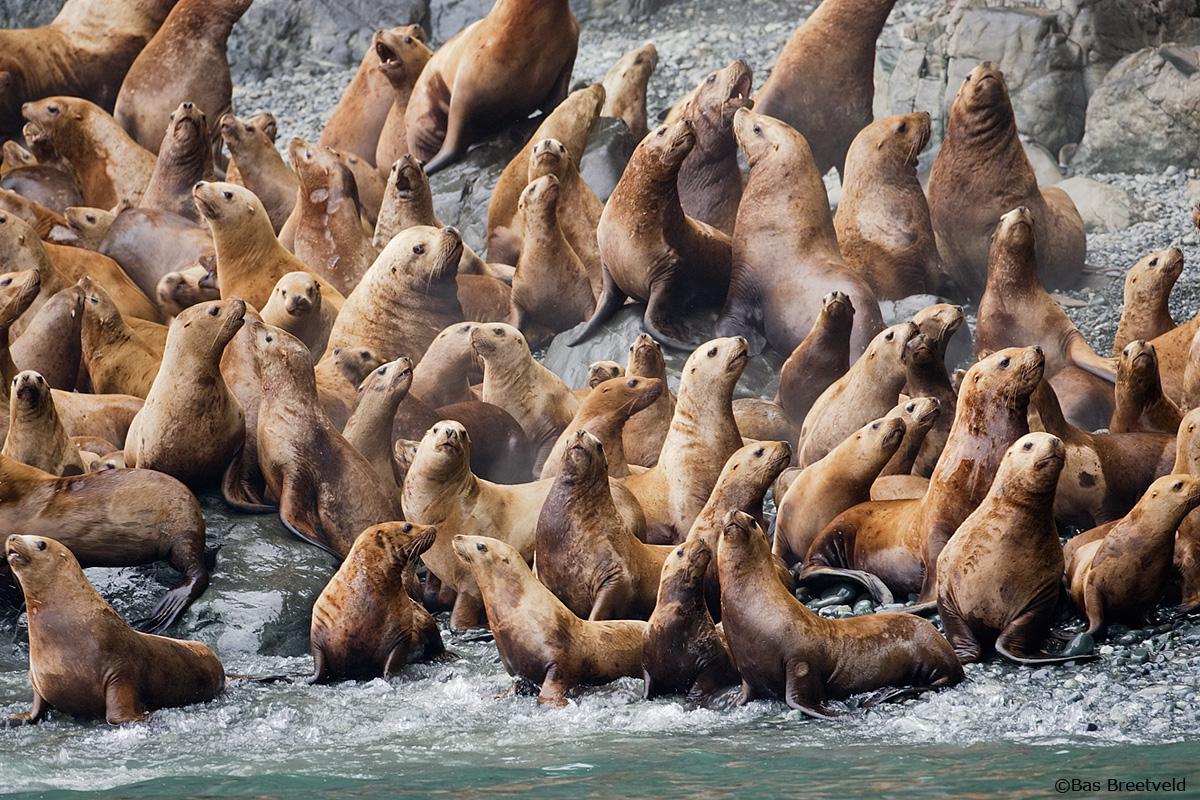 Zeeleeuwen Alaska
