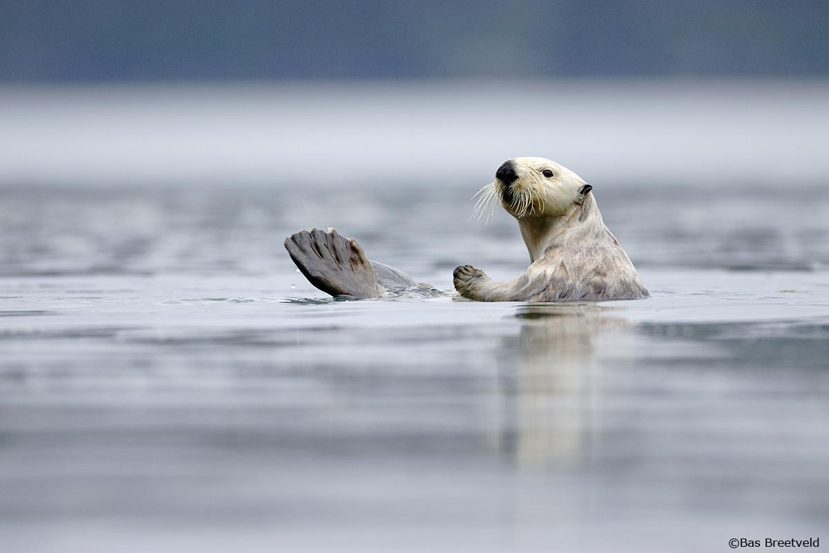 Zeeotter Alaska