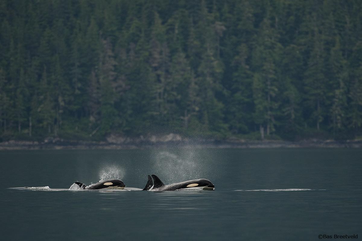 Orka's Vancouver Island Canada