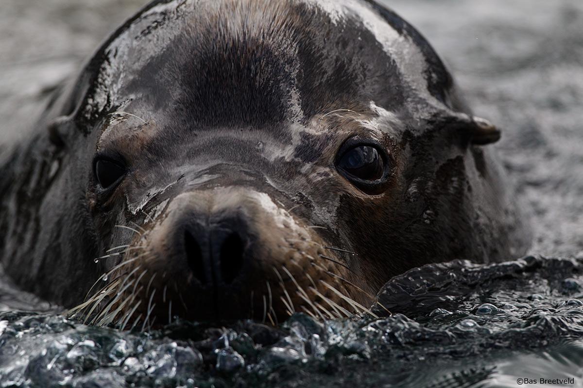 Zeeleeuw Noord Amerika
